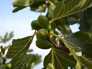 Feigenbaum Im Garten : feigenbaum feige im garten oder im k bel pflanzen ~ Orissabook.com Haus und Dekorationen