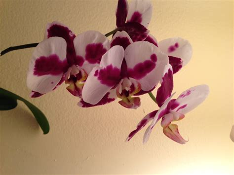 how to make an orchid rebloom rebloom your orchids youtube