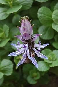 Verpiss Dich Pflanze : plectranthus caninus wikipedia ~ Orissabook.com Haus und Dekorationen