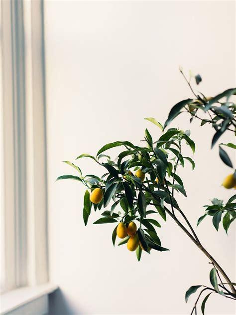 alice gao citrus tree botanicals plants fruit plants indoor garden