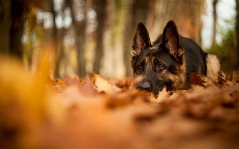 Fall Backgrounds Dogs by Dogs Autumn Wallpaper Wallpaper High Definition High