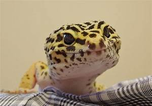 Freckles The Smiling Leopard Gecko Photograph by Chad and