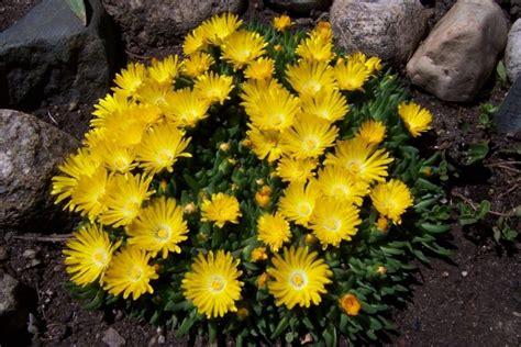 gelb bluehende stauden fuer den sonnigen steingarten