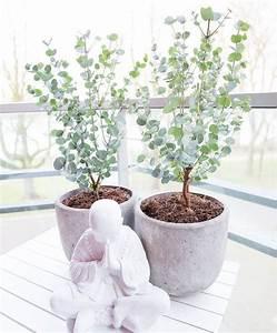 Eucalyptus Plante D Intérieur : eucalyptus 39 azura 39 je le veux pinterest eucalyptus plante plante jardin et plante ~ Melissatoandfro.com Idées de Décoration