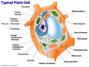 Typical Plant Cell Diagram