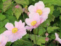 Blumen Für Schattigen Balkon : die besten pflanzen f r den schatten herbst anemone 39 serenade 39 anemone tomentosa 39 serenade ~ Orissabook.com Haus und Dekorationen