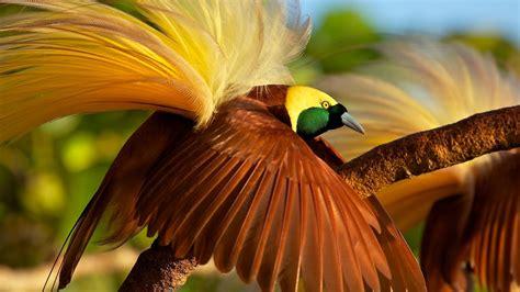 wallpaper bird  paradise bird  animals