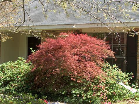 planting a japanese maple online plant guide acer palmatum japanese maple