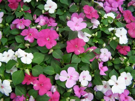 annual shade flowers impatiens mix flower seeds drought tolerant shade loving annual 100 p k yard garden