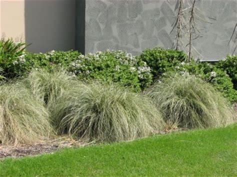carex dipsacea gardening  easy providing garden
