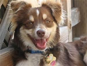 Choosing A Major North American Shepherd Puppies Breeders American Shepherds