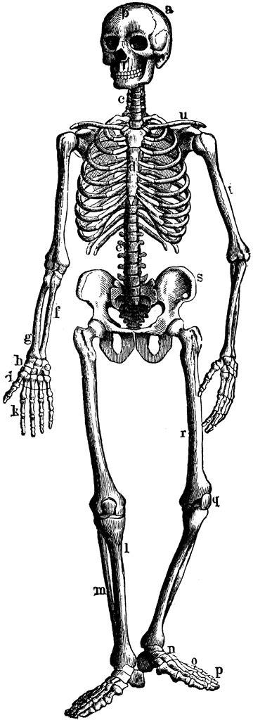 human skeleton showing bony  cartilage tissue