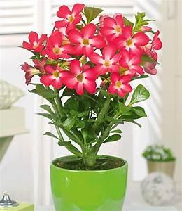 Pflegeleichte Zimmerpflanzen Mit Blüten : w sten rose 39 rot 39 zimmerpflanzen a z bei baldur garten ~ Sanjose-hotels-ca.com Haus und Dekorationen