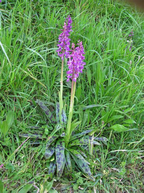 Orchidées du Cotentin: Orchis mascula