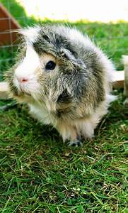 3380, Best, Share, Anything, Guinea, Pig, Here, Images, On, Pinterest