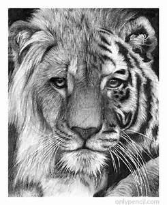 Tiger Lion Hybrid Pencil Drawing | www.onlypencil.com ...