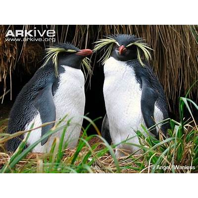 Northern rockhopper penguin videos photos and facts