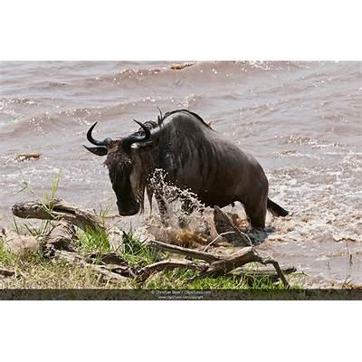 Photo/Picture A Blue Wildebeest (Connochaetes taurinus