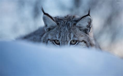 Animals In Snow Wallpaper - lynx hiding in the snow wallpaper animal wallpapers 47211