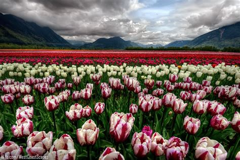 field  pink tulip flowers beautiful landscape