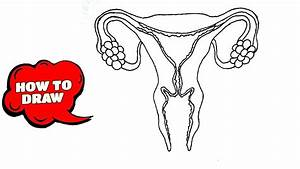 How To Draw Female Reproductive System  Diagram  Functions