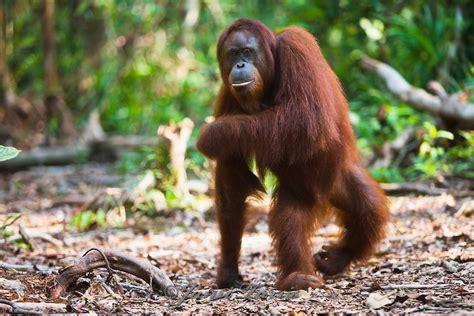 female orangutan walking     legs jami