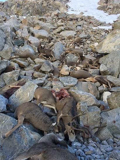 Deer Deaths Migrating Bishop Mule Sierra Pass