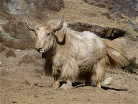 image gallery shaved yak