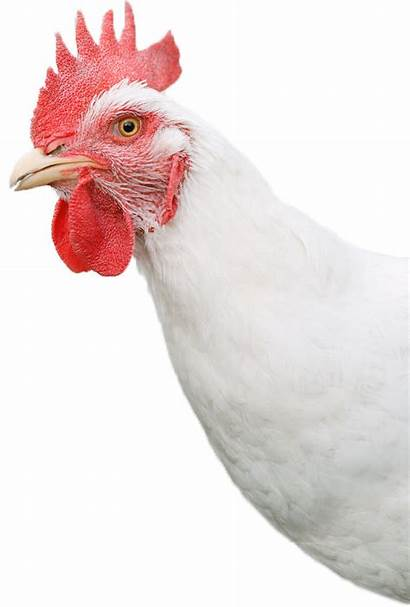 Chicken Head Background Clipart Outline Transparent Egg