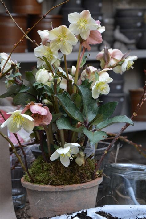 growing hellebores in containers culture dirt simple