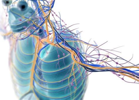 sistema nervioso periferico partes  funciones  imagenes