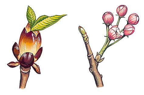la cuisine de ricardo encyclopédie larousse en ligne bourgeons
