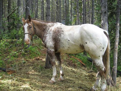horses horse ears gaskin miniature they pony vs whips difference crops training appaloosa scared tools brand branded branding neigh hear