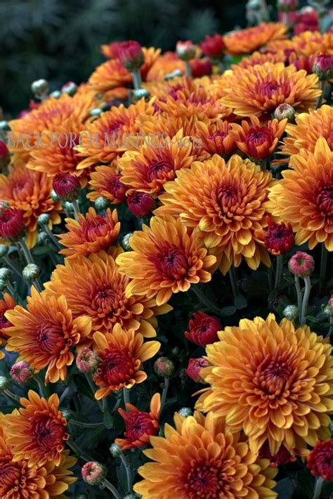 fall mums best 25 fall mums ideas on pinterest