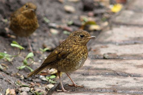 related keywords suggestions for juvenile robin