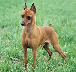 Miniature Pinscher Mix Red | www.imgkid.com - The Image ...