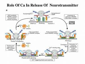 Calcium As A Regulatory And Signalling Ion