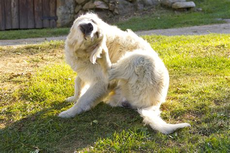 Yeast Infection And Thrush In Dogs Symptoms Causes