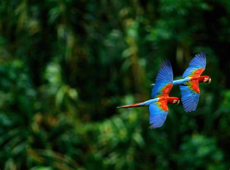 macaw parrot macaw parrot wallpapers fun animals wiki videos pictures stories