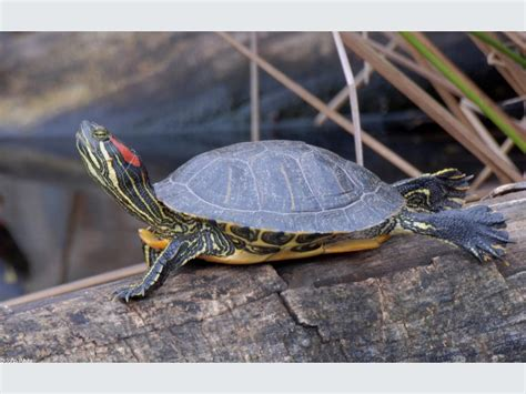eared turtle red eared slider turtle wallpapers hd download