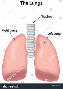 Labeled Lungs Diagram Stock Photo 180269606   Shutterstock
