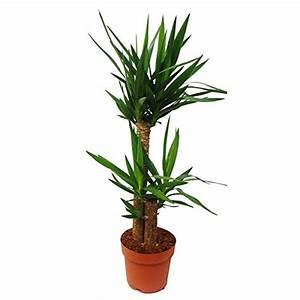 Yucca Palme Blüht : die yucca palme im portrait infos pflegetipps und ~ Lizthompson.info Haus und Dekorationen