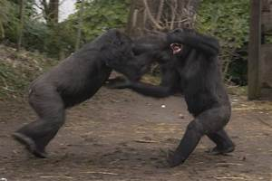 Gorilla Fights Lion images