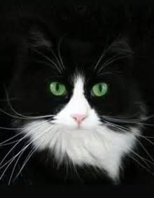 Beautiful Black and White Tuxedo Cat