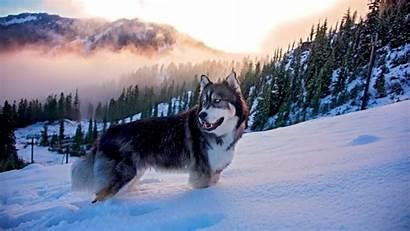 Husky Wallpapers Siberian Dogs Background Desktop Backgrounds