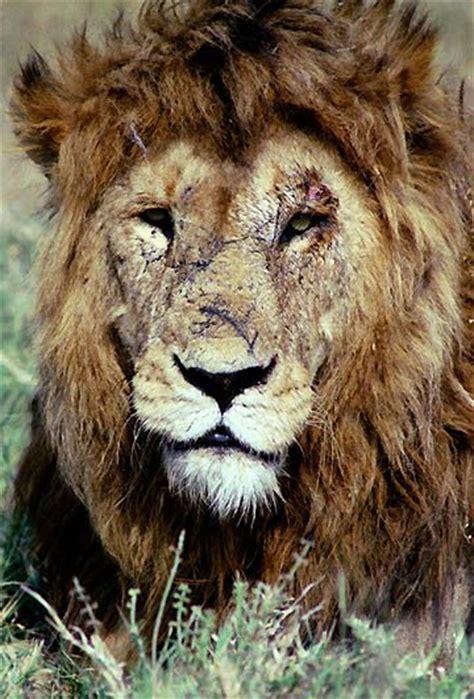 photo    lion warrior  scars   face yuku