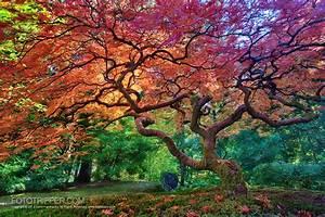 Portland Japanese Garden Maple Tree