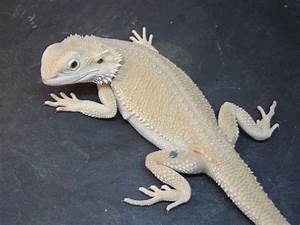 Bearded Dragon Facts, Types and Color Variations - Care ...