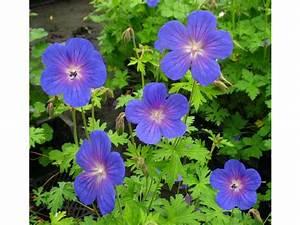 Bodendecker Blau Blühend Winterhart : storchenschnabel 3 pflanzen blau bl hend lidl ~ Michelbontemps.com Haus und Dekorationen