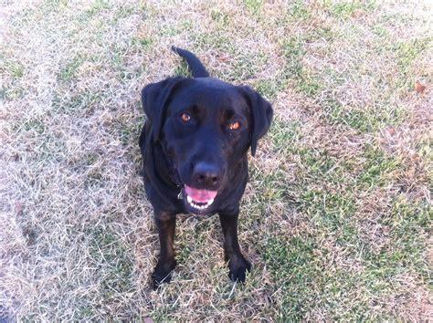 black labrador images puppy